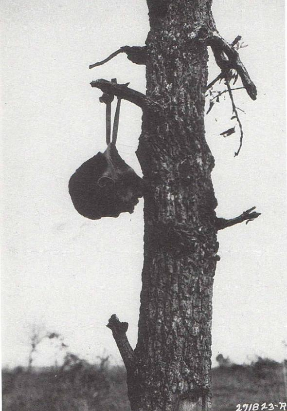 Severed head of a Japanese soldier, tied with a helmet strap on a tree branch. Atrocities on the side of the Allies were not published. (photo)