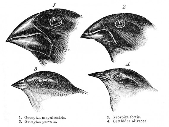 The slightly varied finches of the Galapagos Islands